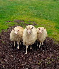 Three Sheep - Vestmannaeyjar Iceland