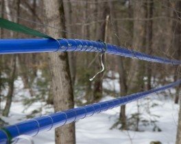 Miles of tubing have replaced the traditional bucket as the means of gathering the sap.