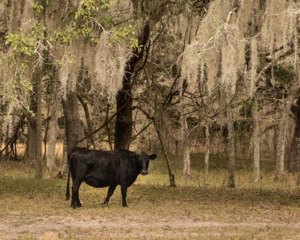 Cow Among Spanish Moss