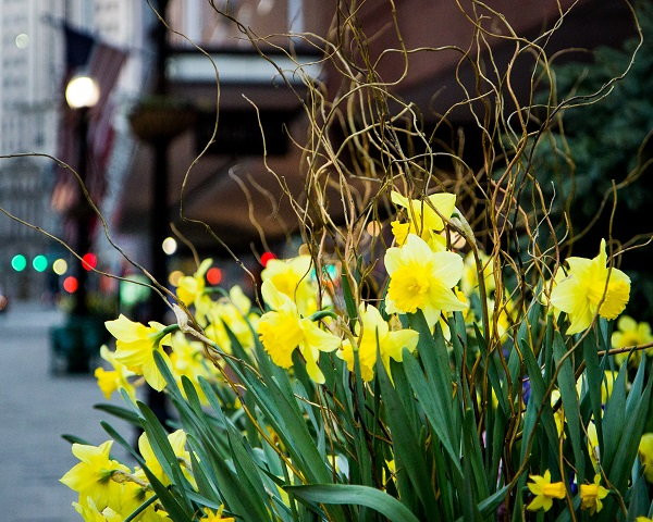 Downtown Crossing Daffodils